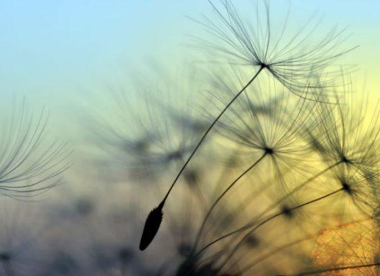 68783606 - Golden sunset and dandelion, meditative zen background © supertramp8
